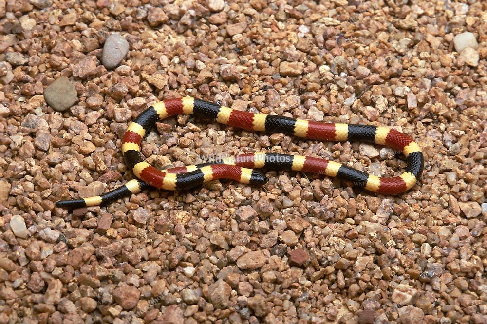 Sonoran Coral Snake, Micruroides euryxanthus