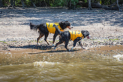 Bernese Mountains Dog Swimming with a Ruffwear Lifejacket, K9 Float Coat in Lake Pepin on the Mississippi River in Lake City, MN.