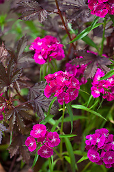 Hibiscus 'Mahogany' with Dianthus barbatus 'Sweet Red'. Sweet William