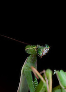 Sexual Cannibalism! Female Paying mantis Devours her partner<br /> <br /> imagine every time you made love to your partner you were dicing with imminent death. It might make<br /> you wary of having sex ever again (if you survived, that is!) yet male praying mantises can never be sure they will survive the sex act owing to their partners<br /> natural predatory instinct. Sexual cannibalism is a natural phenomenon whereby one organism (generally the female) eats the other (typically the Male) before, during or right after sex.<br /> this amazing sequence of photographers shows a female praying mantis eating her lover <br /> <br /> Photo shows: Our female finishes off the last bite of her partner, and we cant help thinking of the well-know saying: the female of the species is more deadly than the male!<br /> <br /> ©Oliver Koemmerling/Exclusivepix