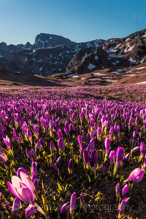 Mountain valley covered in crocuses