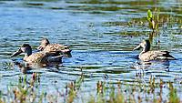 Northern Shoveler (Spatula clypeata). Merritt Island National Wildlife Refuge, Merritt Island, Florida. Image taken with a Nikon D4 camera and 500 mm f/4 VR lens.