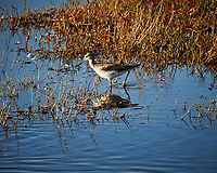 Lesser Yellowlegs. Morning at Black Point Wildlife Drive in Merritt Island National Wildlife Refuge. Image taken with a Nikon D700 camera and 18-300mm VR lens (ISO 200, 300 mm, f/9, 1/320 sec).