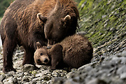A brown bear sow known as Bearded Lady plays with her spring cubs at the McNeil River State Game Sanctuary on the Kenai Peninsula, Alaska. The remote site is accessed only with a special permit and is the world's largest seasonal population of brown bears in their natural environment.