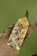 Dotted Chestnut - Conistra rubiginea