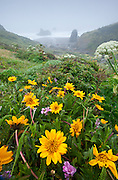 Spring wildflowers near Furlong Gulch in Sonoma Coast State Park, Northern California