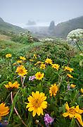 Spring wildflowers near Furlong Gulch in Sonoma Coast State Park, Northern California