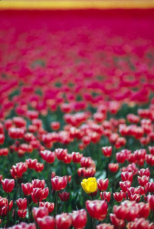 Rouge yellow tulip, tulip bulb farm, April, Skagit River Valley, Washington, USA