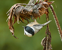 Black-capped Chickadee. Image taken with a Nikon N1V3 camera and 70-300 mm VR lens.