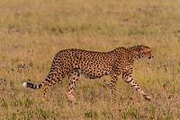 Cheetah, Nxai Pan National Park, Botswana.