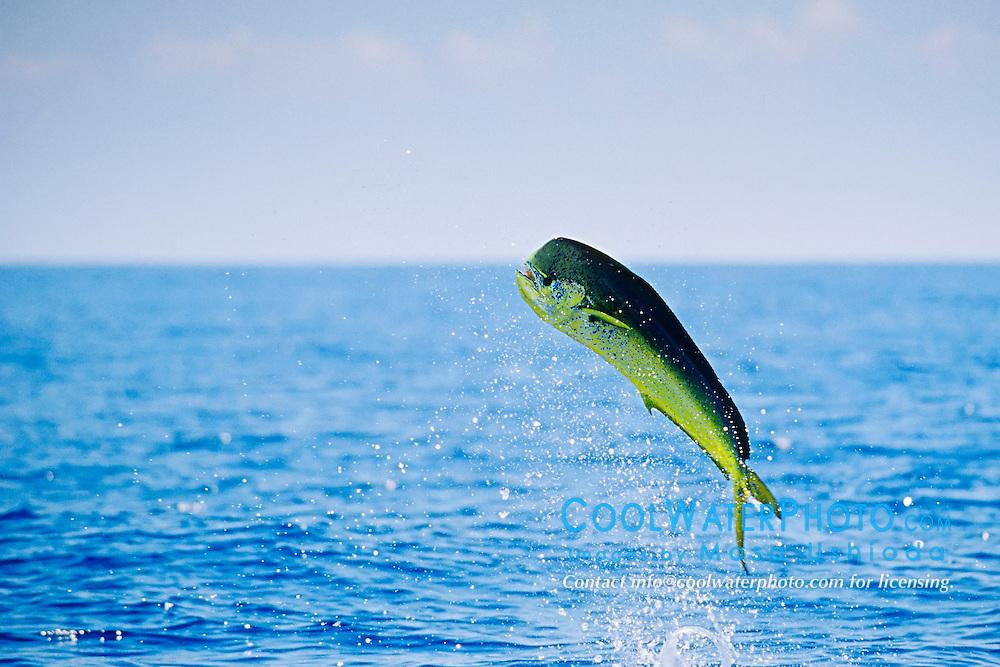 Mahi Mahi, Dolphin Fish or Dorado bull leaping, Coryphaena hippurus, off Kona Coast, Big Island, Hawaii, Pacific Ocean