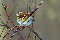 White-throated Sparrow trying to keep warm. Nikon D3s and 70-200 mm VRII with TC-E 20 teleconverter (ISO 200, 400mm f/8, 1/640 sec)