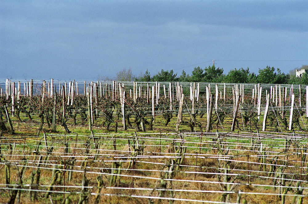 A vineyard in winter time in the village Bonnezeaux, with vines that have been pruned cut down and the metal steel wires that are used for training the vines glimmer and shine in the sunshine, Bonnezeaux Maine et Loire France