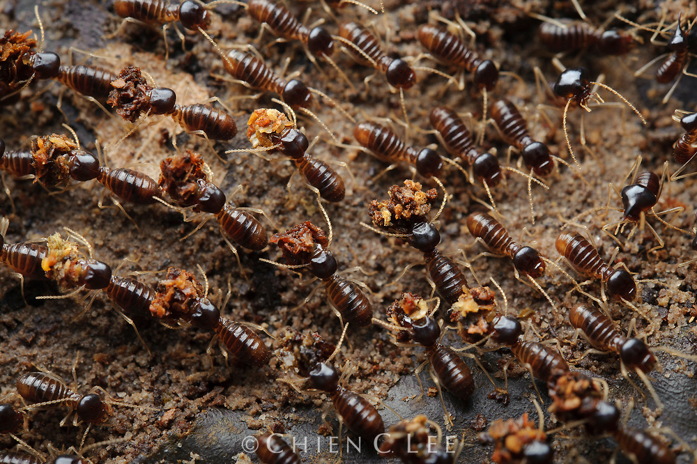 A column of worker termites transport portions of masticated leaves back to the colony.  This species (Longipeditermes longipes) plays an important role in the recycling of leaf litter on the rainforest floor. Sarawak, Malaysia (Borneo).