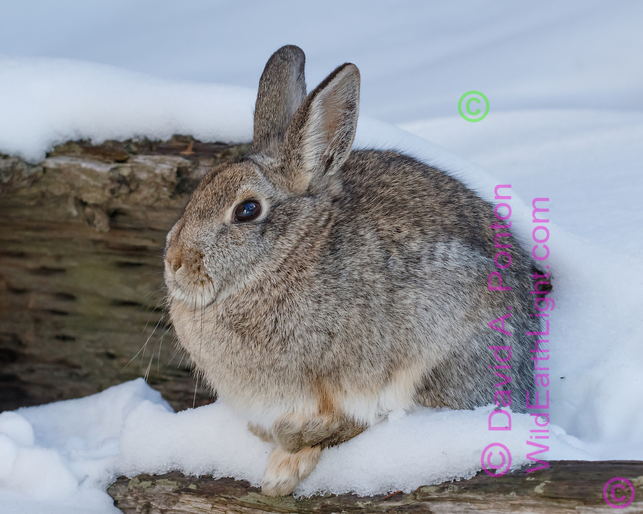 Mountain cottontail rests on a hollow log, braced for cold, winter, Jemez Mountains, NM, © David A. Ponton