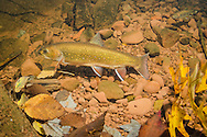 Brook Trout (Spawning Female)<br />