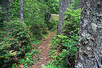 A trail leads to an isolated mossy roofed cabin in the forest., Kitsap Peninsula, Puget Sound, Washington, USA