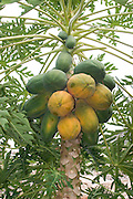 Papaya (also papaw, or pawpaw) fruit on a Carica papaya plant