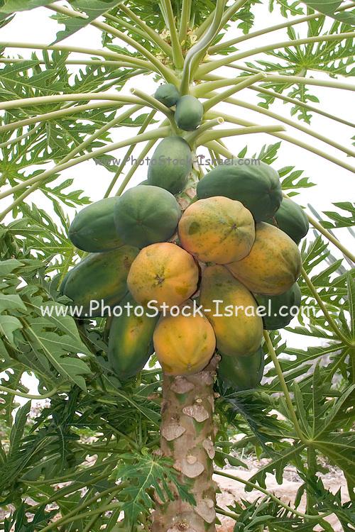 Papaya (also papaw, or pawpaw) fruit on a Carica papaya plant