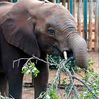 Africa, Kenya, Nairobi. Orphaned baby elephant well fed and cared for at David Sheldrick's Wildlife Trust.