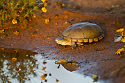 Yellow-mud turtle with yellowjacket on head