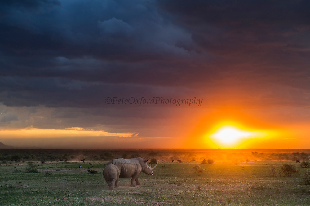 White rhinoceros (Ceratotherium simum) during storm<br /> Marataba, A section of the National Park, <br /> SOUTH AFRICA<br /> RANGE: Southern & East Africa<br /> ENDANGERED SPECIES