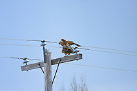 I was out for a walk at the Carseland Weir when I noticed a Swainsons Hawk perched on a nearby power pole.  I was very surprised to see a second hawk fly in and begin mating with the first.  I'm still amazed by some of the things I see when I'm out and about!..©2009, Sean Phillips.http://www.Sean-Phillips.com