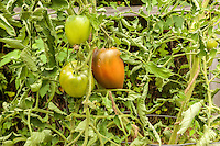 Tomatos ripen on the vine in an organic garden.