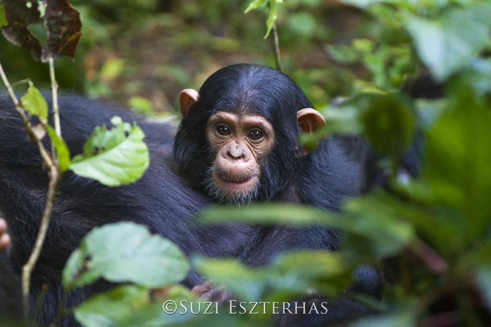 Chimpanzee <br /> Pan troglodytes<br /> Three month old infant<br /> Tropical forest, Western Uganda