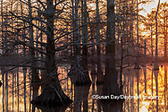 63895-17415 Cypress trees at sunset in fall Horseshoe Lake State Fish & Wildlife Area Alexander Co. IL