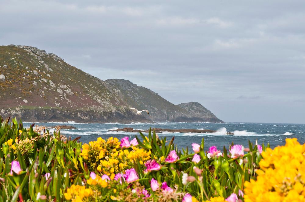 Spanien,Galizien, Provinz A Coruna, Kueste westlich von Malpica de  Bergatinos , Am Strand Praia de Parizo - Barizo Porto; Blumenmeer vor Küste mit Gebirge und Möwe