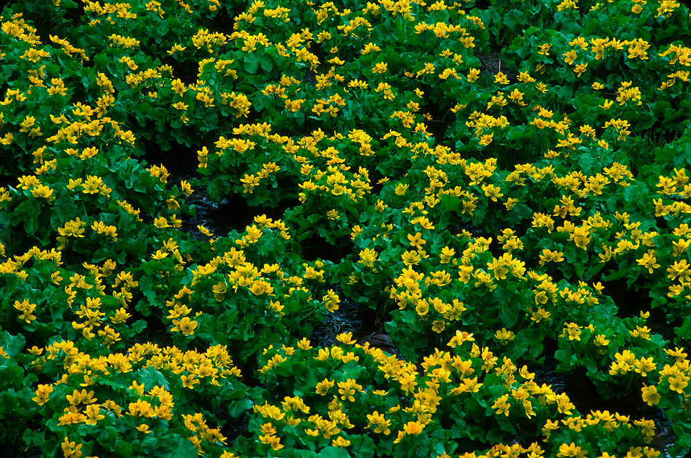 Marsh marigolds near the Village of Kazbegi, Caucasus Mountains, The Country of Georgia