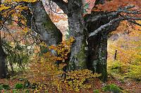Old beech tree in autumn (Fagus spec.), Piatra Craiului National Park, Transylvania, Southern Carpathians, Romania