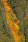 Fall color seems to spill like a waterfall down Sunrise Ridge in Mount Rainier National Park, Washington.