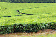Path through tea  plantation crop  in tropical Far North Queensland, Australia <br />