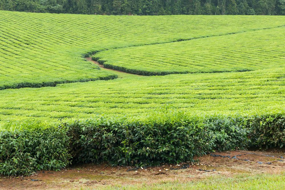 Path through tea  plantation crop  in tropical Far North Queensland, Australia <br /> <br /> Editions:- Open Edition Print / Stock Image
