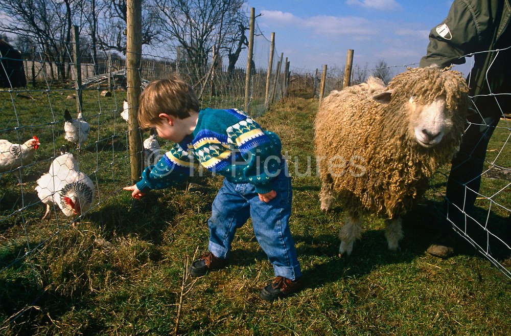 A young boy in a field plays with a ewe and chickens at Drusillas Park Zoo. He reaches down to the ground to see if the chickens behind a wire fence will come nearer while the ewe is held tight by a farm hand. Educating the young with hands-on experiences help the urban to understand the nature of farming and the sources of their food. But after this contact with livestock, the boy needs to wash his hands thoroughly as the risk of infections such as E.coli are significant – as has been discovered in other park zoos and farms. Cattle and sheep are the main carriers of E.coli O157 so hand washing using warm water and soap is an important and effective control. It is recommended that washing after working with or touching animals, their dung, manure, slurry or sewage. E.coli O157 can live for some months in the soil.
