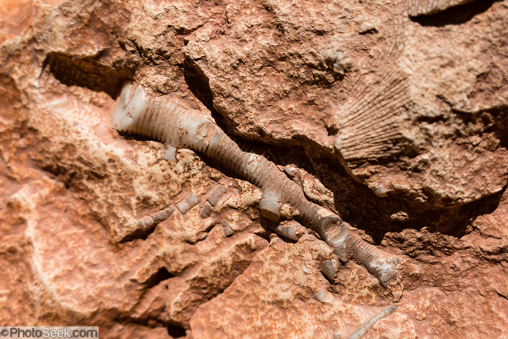 A sea lily (crinoid) animal fossil at Redwall Cavern in Marble Canyon at River Mile 33.3, seen on day 2 of 16 days rafting 226 miles down the Colorado River in Grand Canyon National Park, Arizona, USA. Crinoidsare marine animals that make up theclassCrinoidea, one of the classes of the phylum Echinodermata, which also includes the starfish, brittle stars, sea urchins and sea cucumbers.Those crinoids which, in their adult form, are attached to the sea bottom by a stalk (shown here) are commonly calledsea lilies, while the unstalked forms are calledfeather stars or comatulids, being members of the largest crinoid order,Comatulida.