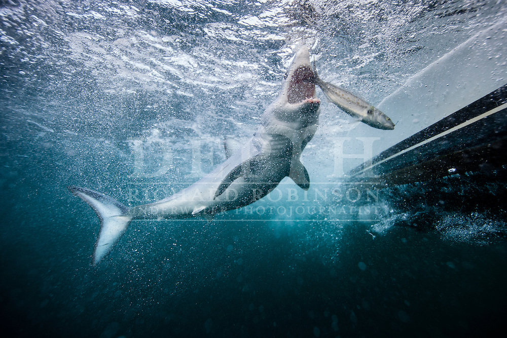 Isurus oxyrinchus (Mako Shark) in the Hauraki Gulf, New Zealand.<br /> May 2015<br /> Photograph Richard Robinson © 2015.