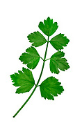 Wild Celery - Apium graveolens