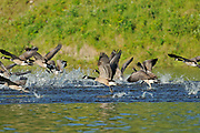 Canada geese (Branta canadensis)   on the English River<br />