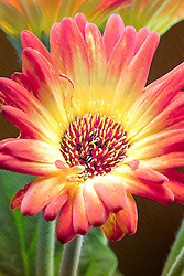 A Multicolored Gerbera Daisy In The Garden With Bold Contrasted Fine Details and a Fine Art Feel.<br />