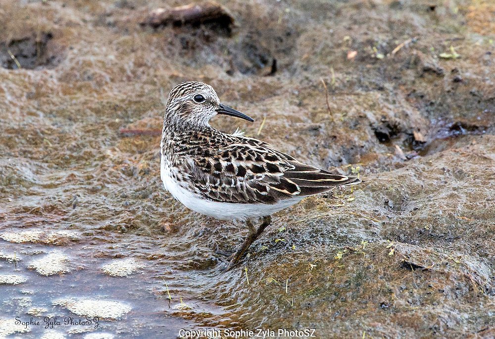 """Least Sandpiper thinking """"It must be here somewhere!)"""