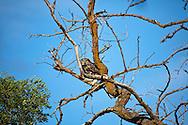 gray owl in flight