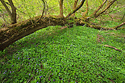 Fallen Old growth tree and violets in Killaly Meadows<br /> London<br /> Ontario<br /> Canada
