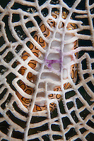 Flamingo Tongue Snail feeding (from below)...Shot in British Virgin Islands