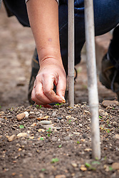 Sowing climbing French Bean 'Purple Cascade' - Phaseolus vulgaris - to grow up cane supports