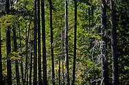 A Douglas Fir coniferous Washington Department of Natural Resources forest on the Kitsap Peninsula in Puget Sound backlit,
