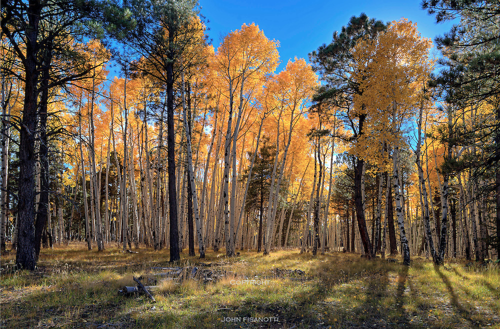 Aspen Trees, Coconino National Forest, Arizona