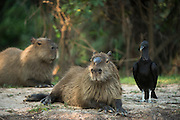 Capybara (Hydrochoerus hydrochaeris) & Black Vuture (Coragyps atratus)<br /> Northern Pantanal<br /> Mato Grosso<br /> Brazil